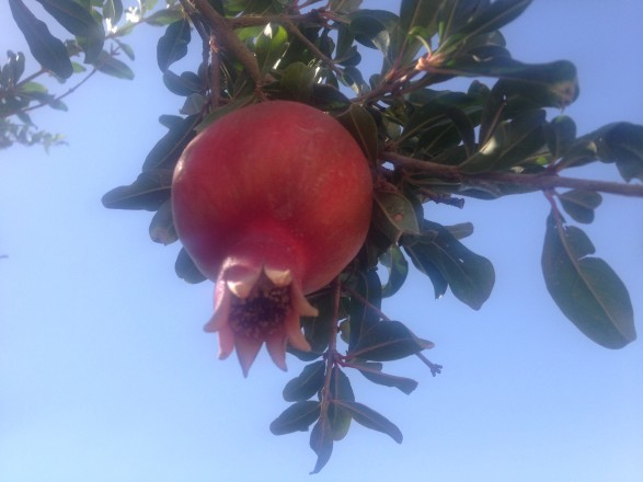 fresh pomegranate in Israel
